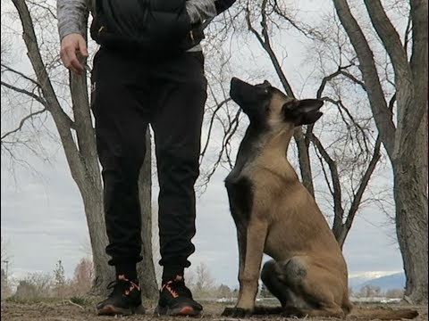 TEACHING YOUR DOG BASIC COMMANDS! | BELGIAN MALINIOS