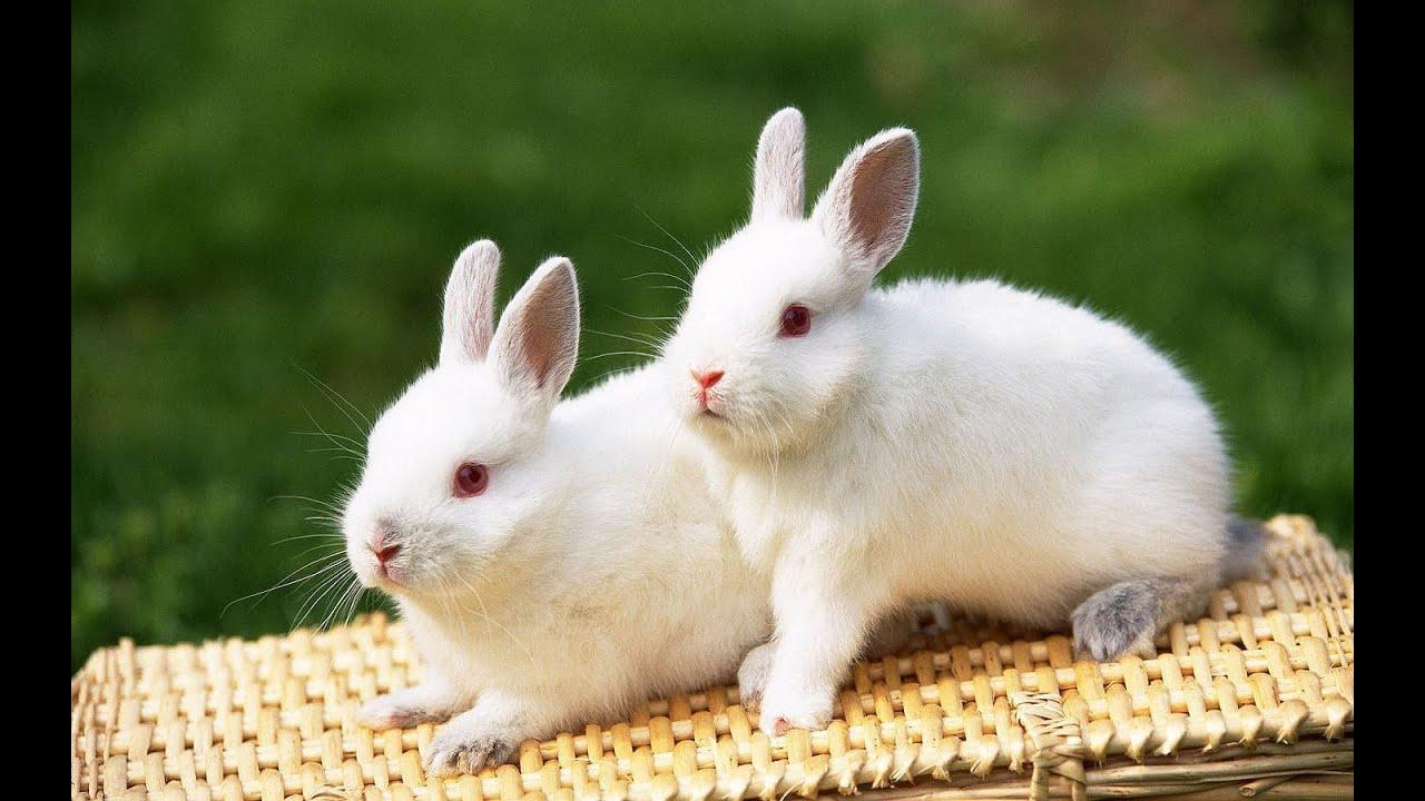 Cute White Rabbit Wallpapers For Desktop: Huge Albino Bunny Rabbit At Animal Shelter