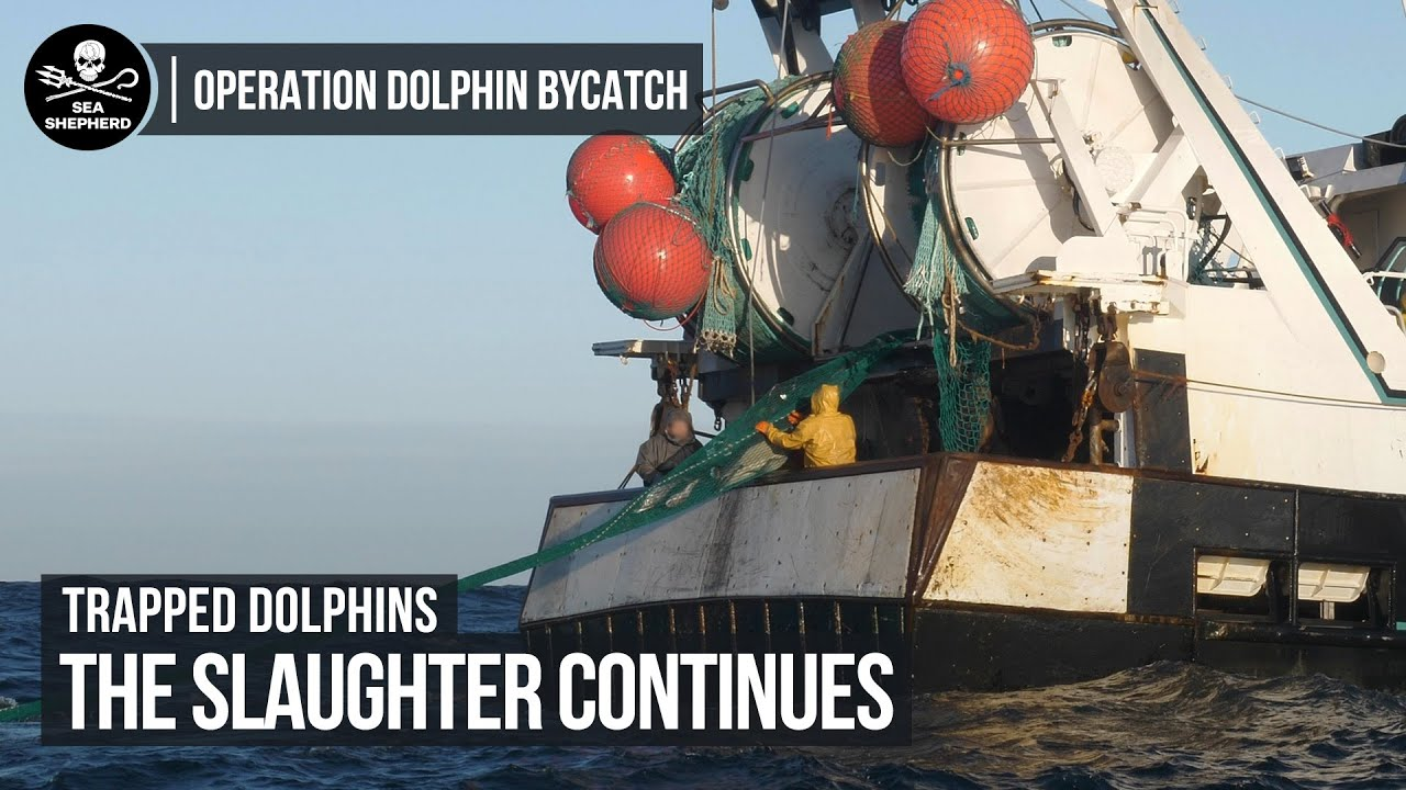 Trapped Dolphins: The Slaughter Continues