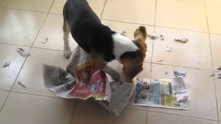 Beagle Puppy Ripping Up The Newspaper