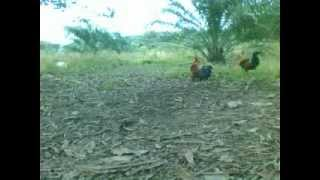 pikat ayam hutan (A)