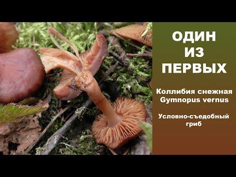 Один из первых! Коллибия снежная - Gymnopus vernus. Условно-съедобный гриб.