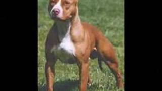 Rottweiler  Bull Terrier  Pit  Bull