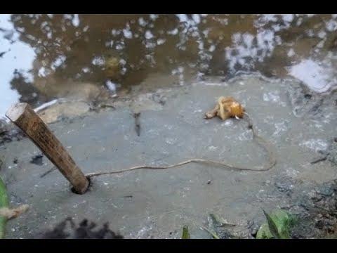 Cắm câu ếch bằng mồi ốc bưu vàng, sẩy hết mấy con tiếc quá!