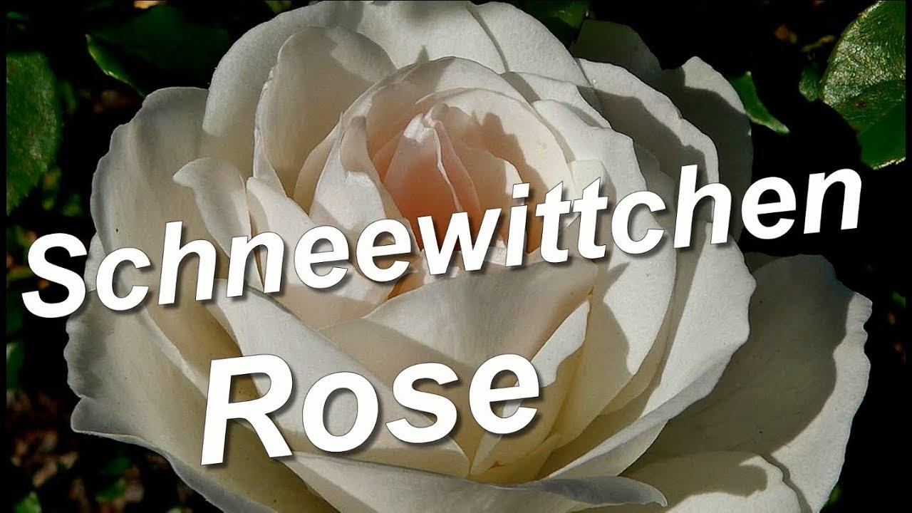 schneewittchen rose iceberg kordes youtube. Black Bedroom Furniture Sets. Home Design Ideas