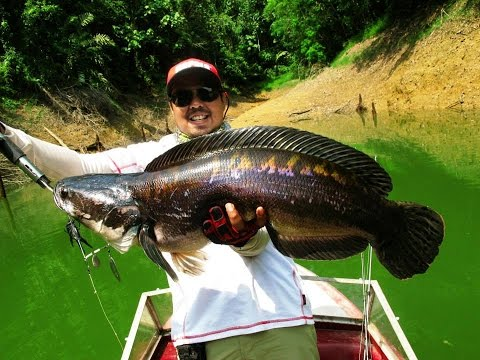Giant Snakehead Fishing in 2014