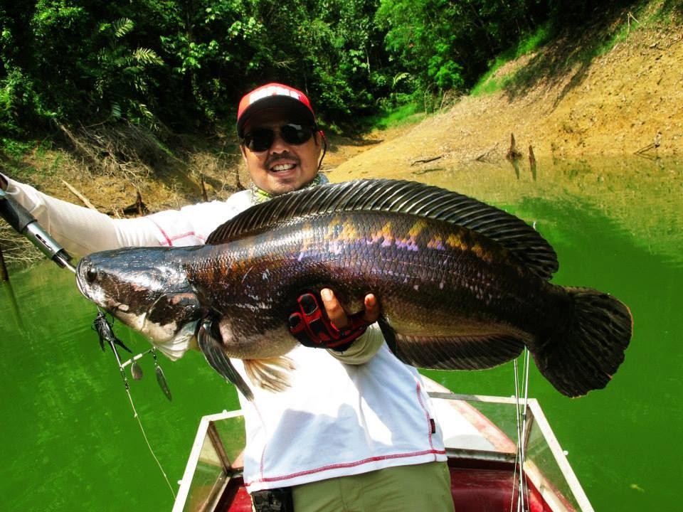 Giant Snakehead Fishing in 2014 - YouTube - photo#36