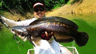 Giant Snakehead Fishing in 2014