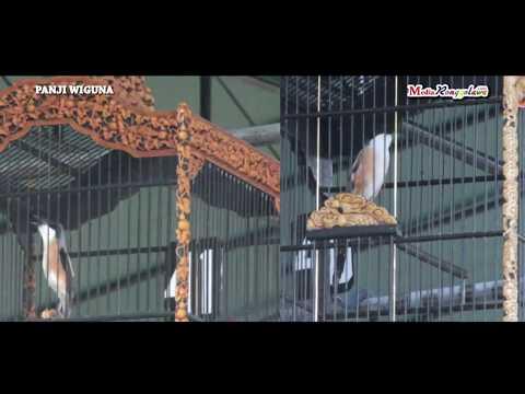 PIALA RAJA 2017 - Duel Cendet Jawara, Petir VS Pancak Doyo
