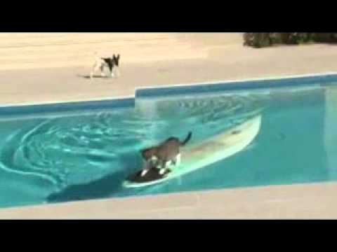 Cat Escapes Dog By Surfing Across Pool!