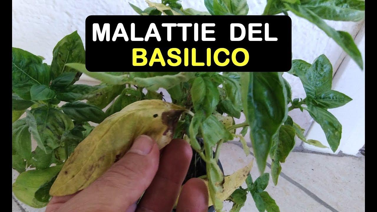 eliminare parassiti basilico