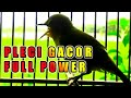 Pleci Gacor Full Power Ampuh Buat Pancingan Pleci Agar Pleci Buka Paruh Dan Gacor  Mp3 - Mp4 Download