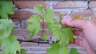 видео Подкормка винограда – когда и как вносить удобрения?