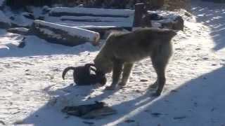 Кошка против собаки))))))))Смотреть!!!!!