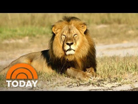Cecil The Lion's Death: What Really Happened Is Revealed In New Book 'Lion Hearted'   TODAY