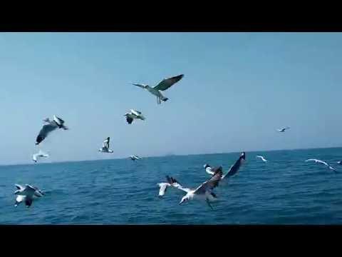 Rare Video!!!! Seagulls Fishing Incredible Video