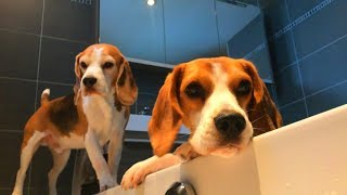 How To Get Your Dog In The Bathtub : The Beagle Way!!