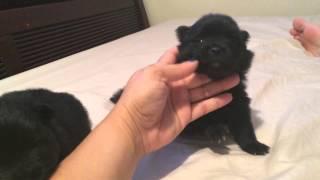 Super Cute 3 Week Old Black Pomeranian Puppies