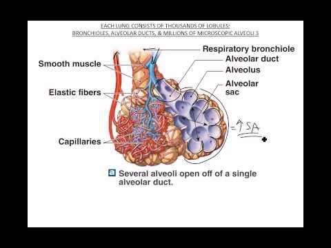 Bronchioles Alveoli Respiratory Membrane