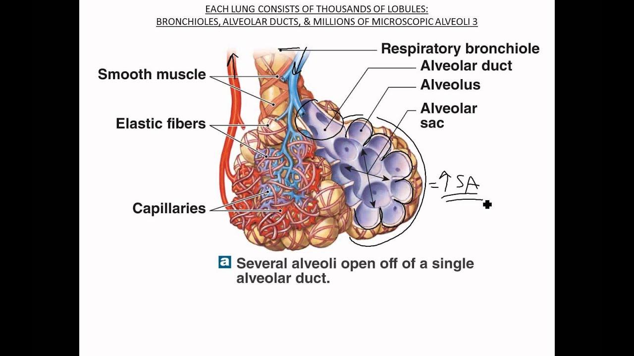 Bronchioles Alveoli Respiratory Membrane Youtube