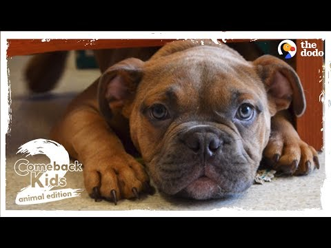 Abandoned Bulldog Teaches Himself How To Walk | The Dodo Comeback Kids S02E02