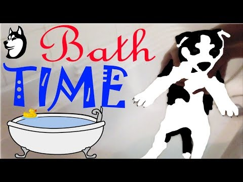 Siberian Husky Puppy Bath: Second Time In Bath [6 Weeks Old]