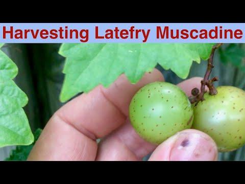 Harvesting Latefry Muscadine