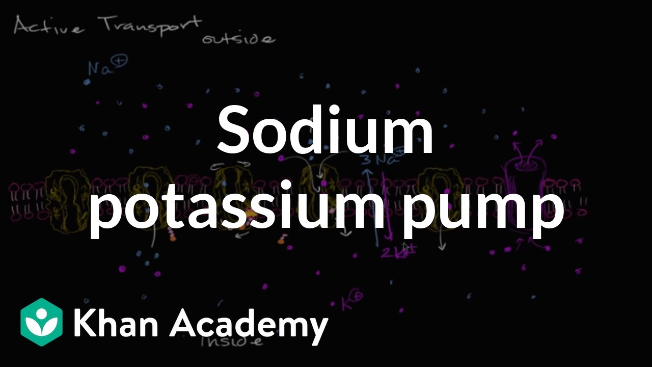 Sodium potassium pump (video) | Khan Academy