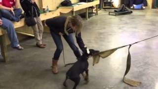 "Early Protection Training & Development Doberman Puppy ""finn"" Prufenpuden"