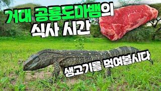 거대 공룡도마뱀 살떨리는 생고기 식사시간