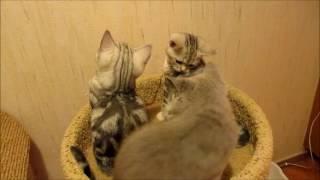 Котята Британцы мраморные и голубого окраса носятся за точкой, лазерной указкой