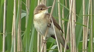 Reed Warbler Bird Singing A Beautiful Song Youtube