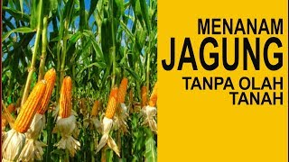 Download Video Cara Menanam Jagung Tanpa Olah Tanah [TOT] MP3 3GP MP4