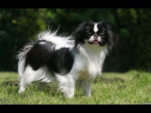 Вопрос: Японская стрижка собак – как выглядит Фото?