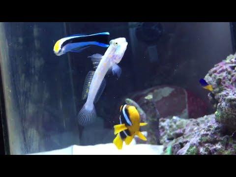 Blue Streak Wrasse Cleaning Parasite Off Gobi  Fish
