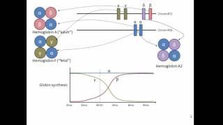 Globin genes, hemoglobin, and development