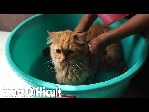 Persian Cat took Bath for the First time in his Life | Wildly Indian