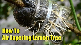 How To Air Layering Lemon Tree