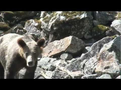 The Grizzly Bears of Leaper Sound BC Canada 2009 in HD