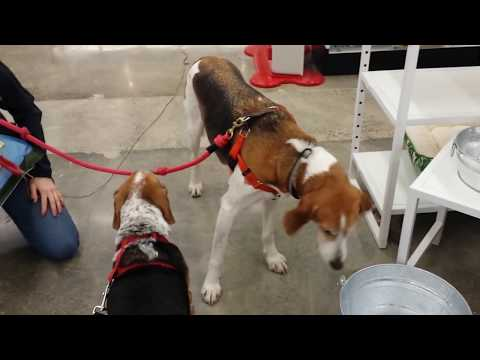 """BAXTER THE BEAGLE MEETS """"HAPPY"""" A TREEING WALKER COONHOUND"""