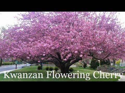 plant japanese flowering cherry trees correctly''kwanzan', Natural flower