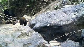 Wildlife Thailand - Asiatic Black Bear - Rare Wild Colour Morph