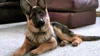 Dog Training | Board and Train | Michigan | German Shepherd | Rocky