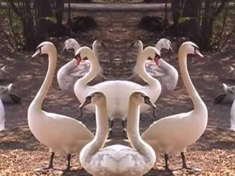 Stockholm Tantras White Swans