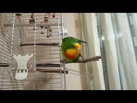 Papiga baraband-Loko