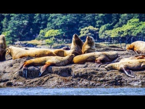 Transient Killer Whales Battling a Huge Steller Sea Lion