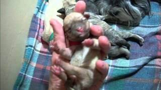 Newborn Mini Schnauzer Puppies