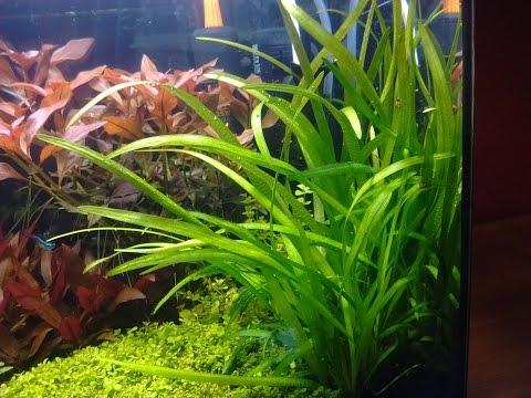 017. Sagittaria Subulata / epoka akwariowa