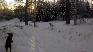 Four German Shorthaired Pointers and a Doodle Enjoying Snow | Fergie's Mess