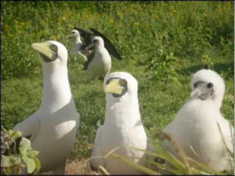 Banding of Albatross in the Northwestern Hawaiian Islands